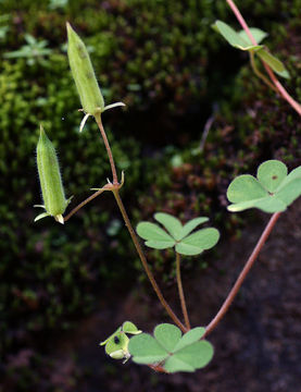 Creeping-Wood-Sorrel--Fruit-on-the-plant
