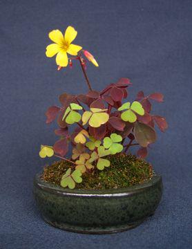 Creeping-Wood-Sorrel-Plant-on-the-pot