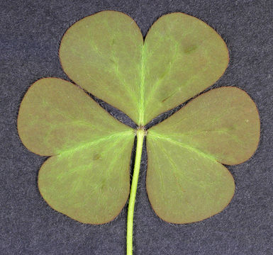 Ventral-view-of--Creeping-Wood-Sorrel--leaf