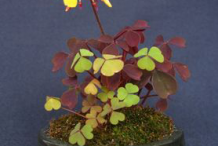 Creeping-Wood-Sorrel-Plant-on-the-pot