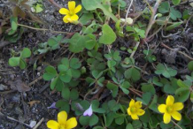 Creeping-Wood-Sorrel--Plant