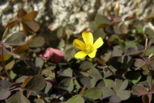 Flower-of-Creeping-Wood-Sorrel-plant