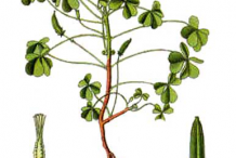 Plant-Illustration-of-Creeping-Wood-Sorrel