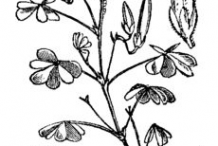 Sketch-of-Creeping-Wood-Sorrel