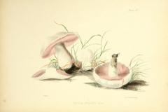 Illustration-of-Cremini-mushroom