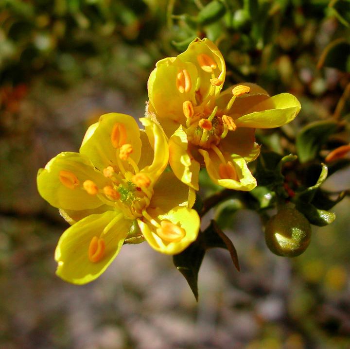Creosote-bush-close-up-flowers
