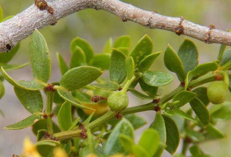 Creosote-bush-leaves