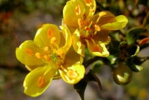 Creosote-bush-close-up-flowers