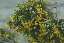 Creosote-bush-foliage-and-flowers