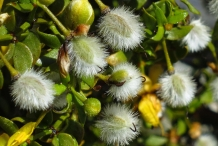 Creosote-bush-seeds