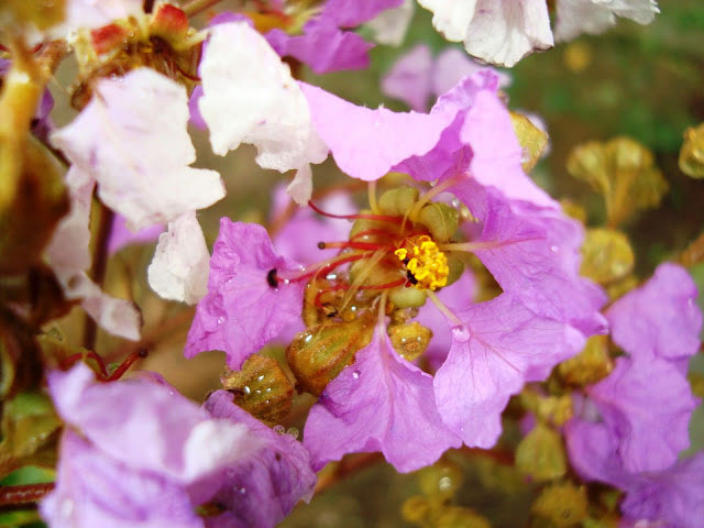 Closer-view-of-flower-of-Crepe-Myrtle