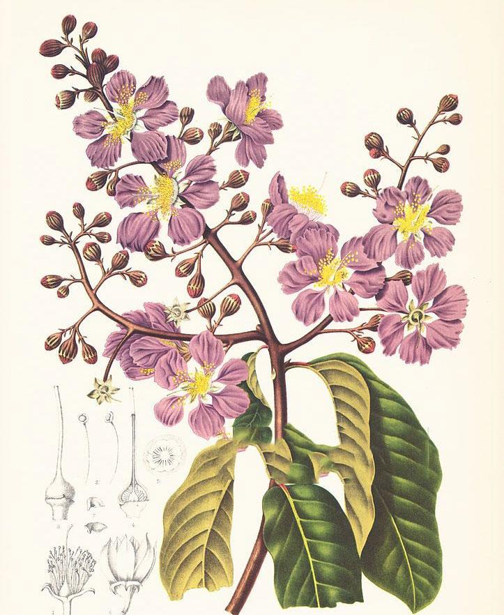 Plant-Illustration-of-Crepe-myrtle