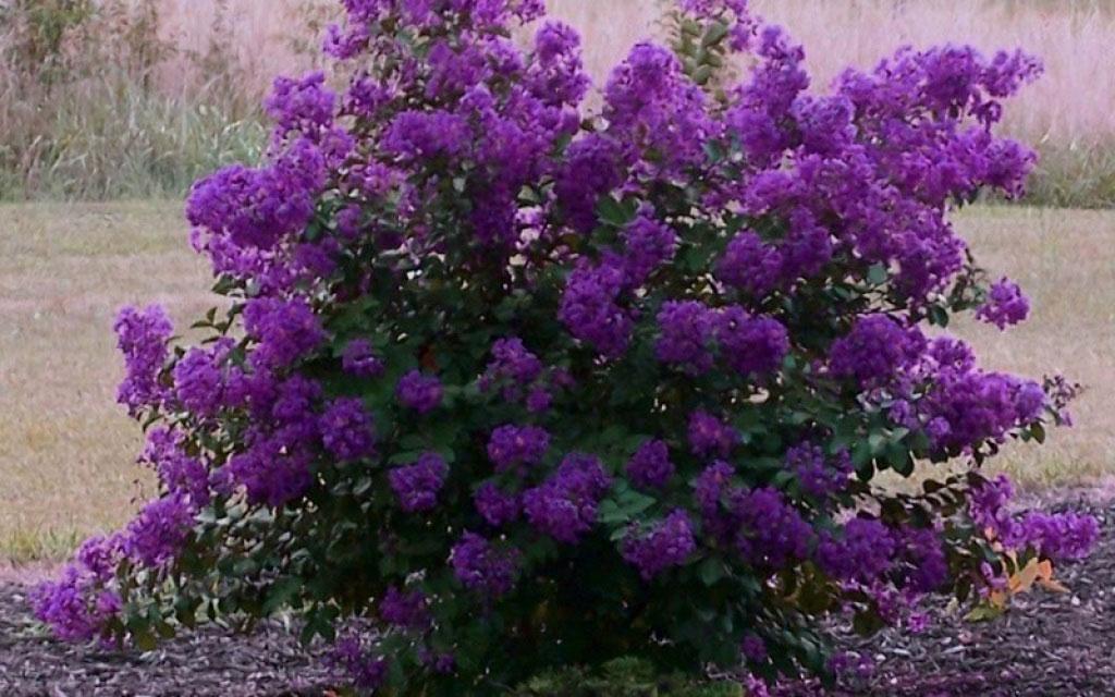 Purple-Crepe-Myrtle