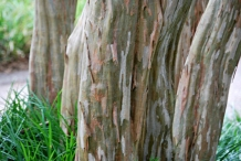 Bark-of-Crepe-myrtle