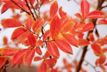 Fall-leaves-of-Crepe-Myrtle