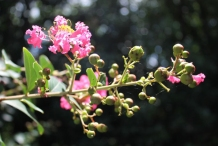 Flowering-buds-and-flowers-of-Crepe-Myrtle