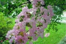Flowers-of-Crepe-Myrtle