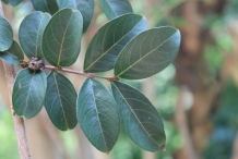 Leaves-of-Crepe-Myrtle