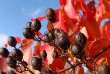 Mature-dried-fruits-of-Crepe-myrtle