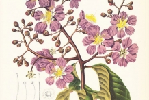 Plant-Illustration-of-Crepe-myrtle