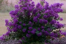 Purple-Crepe-Myrtle