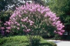Crepe-Myrtle-Plant
