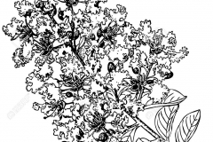 Sketch-of-Crepe-myrtle
