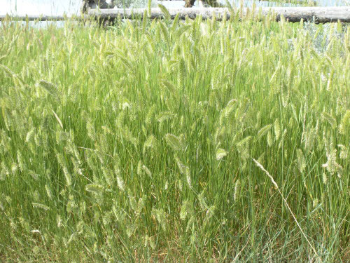 Crested-wheatgrass-growing-wild