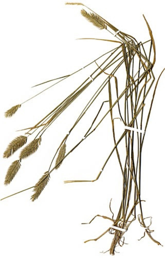 Dried-Crested-wheatgrass-plant