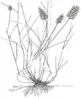 Sketch-of-Crested-wheatgrass