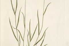 Plant-Illustration-of-Crested-wheatgrass