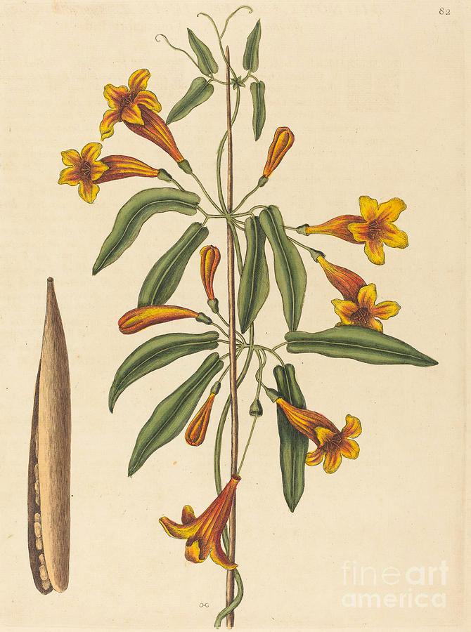 Plant-Illustration-of-Crossvine