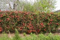 Crossvine-growing-wild