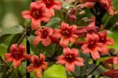 Flowers-of-Crossvine