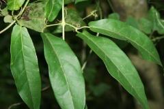 Leaves-of-Crossvine