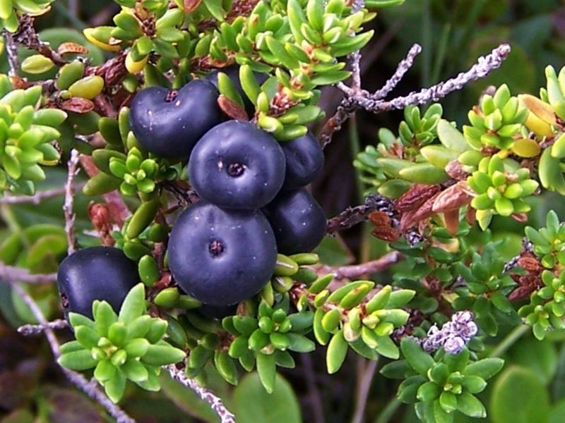 Crowberry-Fruits-on-the-plant