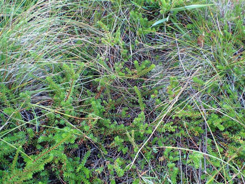 Crowberry-Plant-growing-wild