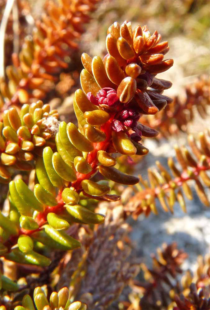 Male-flower-of-Crowberry