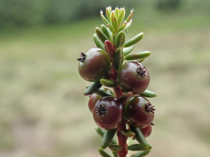 Maturing-fruit-of-Crowberry