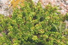 Crowberry-Plant