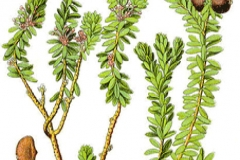 Plant-illustration-of-Crowberry