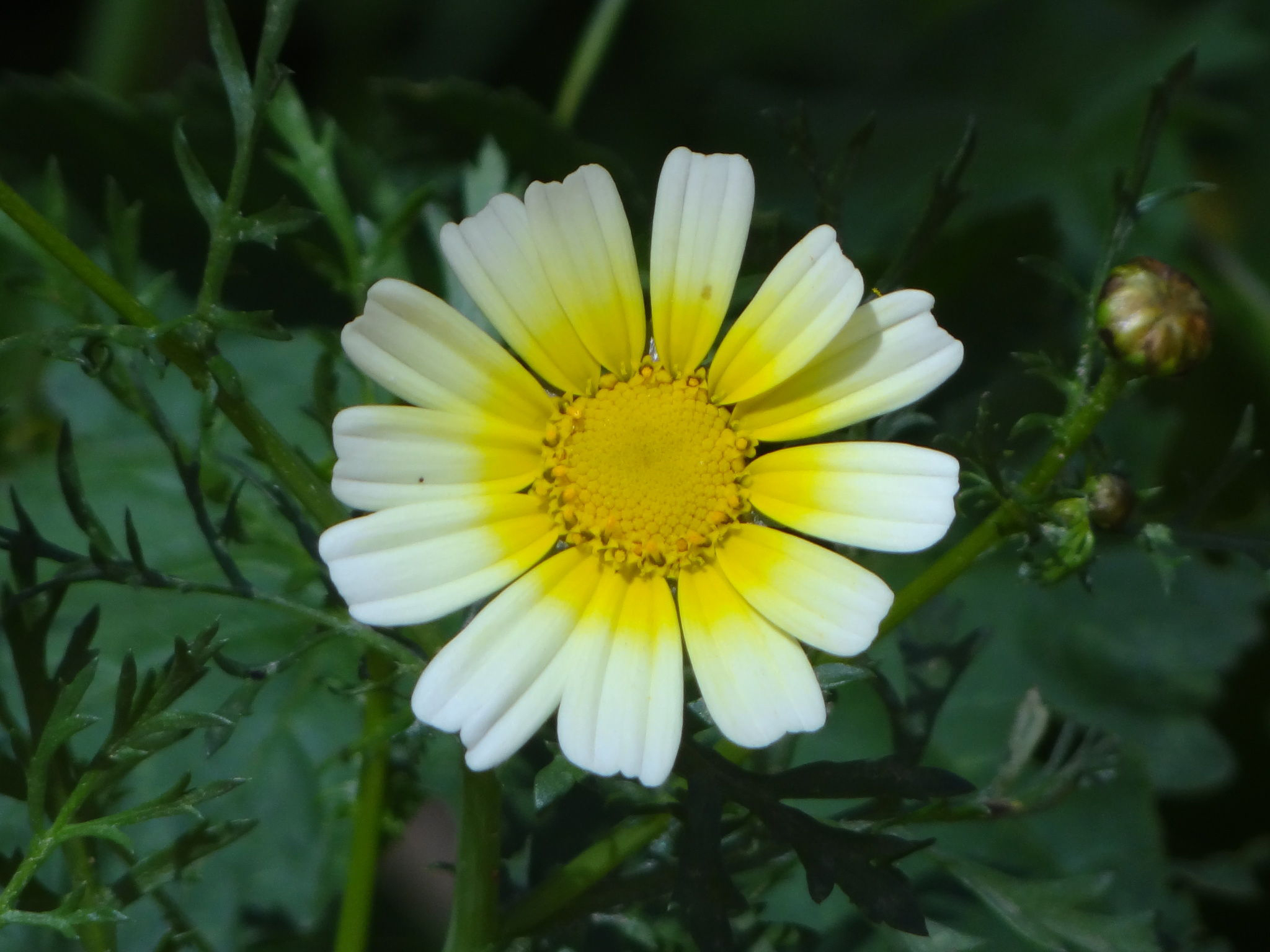 Crown daisy facts health benefits and nutritional value close up flower of crown daisy izmirmasajfo Choice Image
