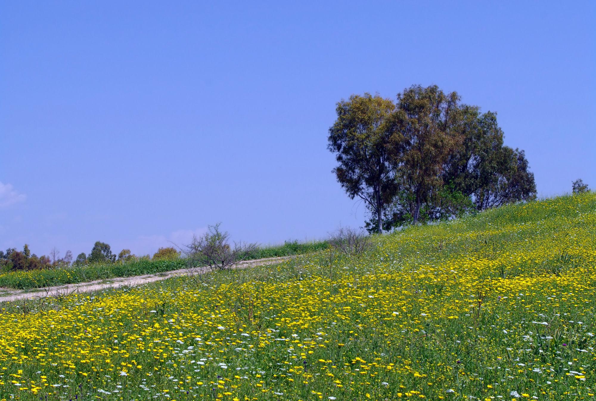 Crown-daisy-farm