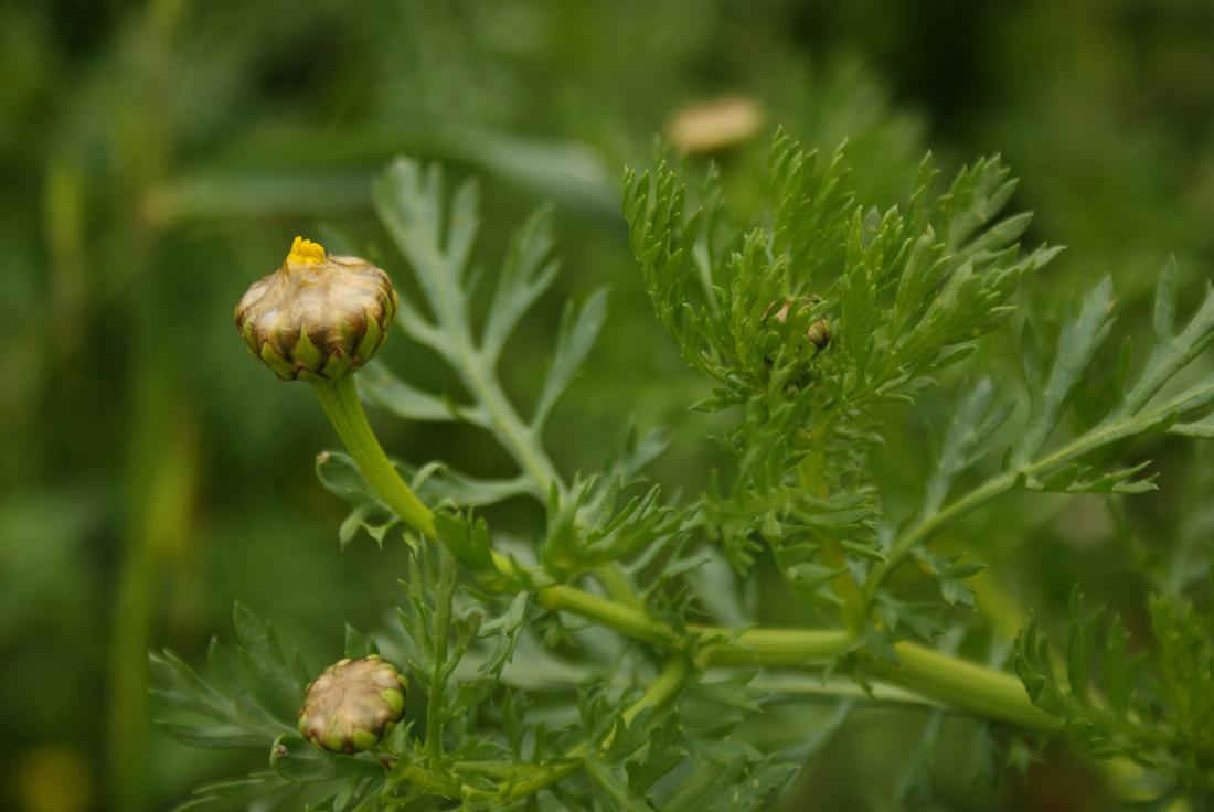 Crown-daisy-flower-buds