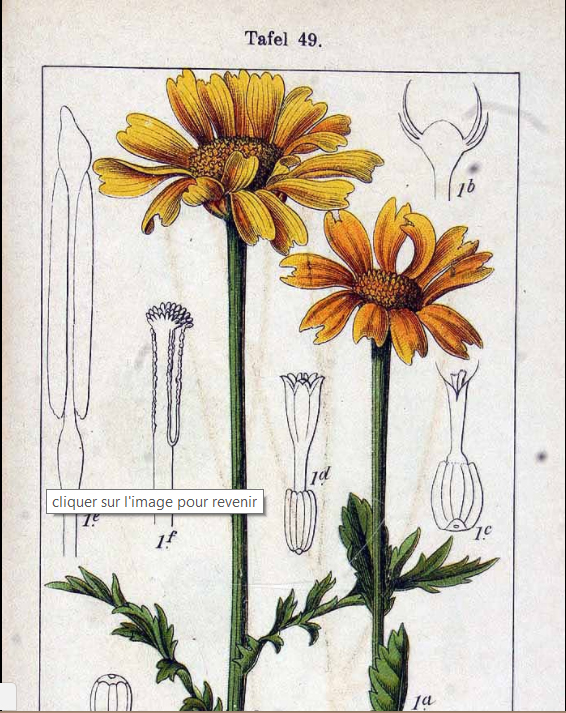Crown-daisy-illustration
