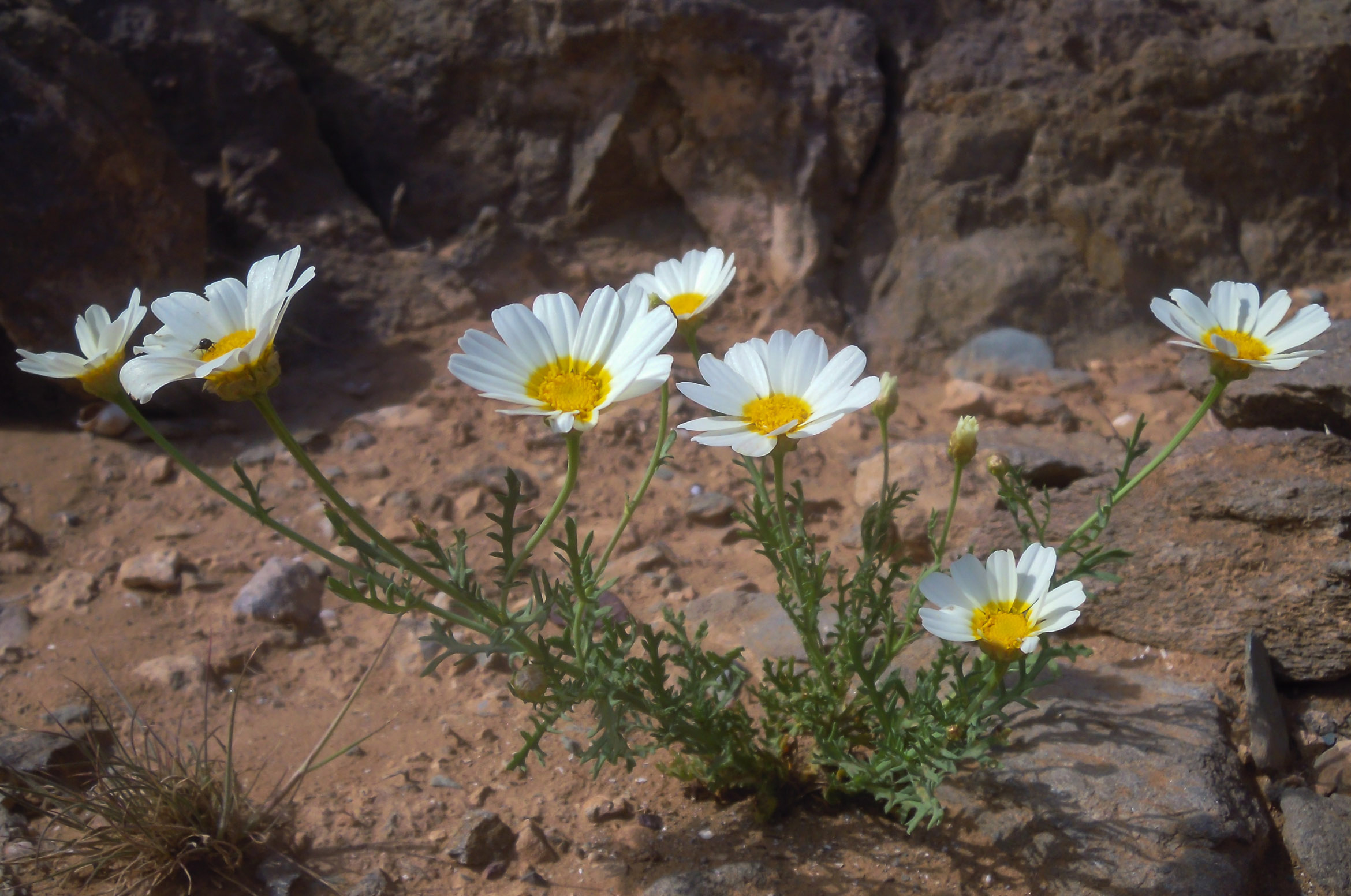 Crown Daisy Facts Health Benefits And Nutritional Value
