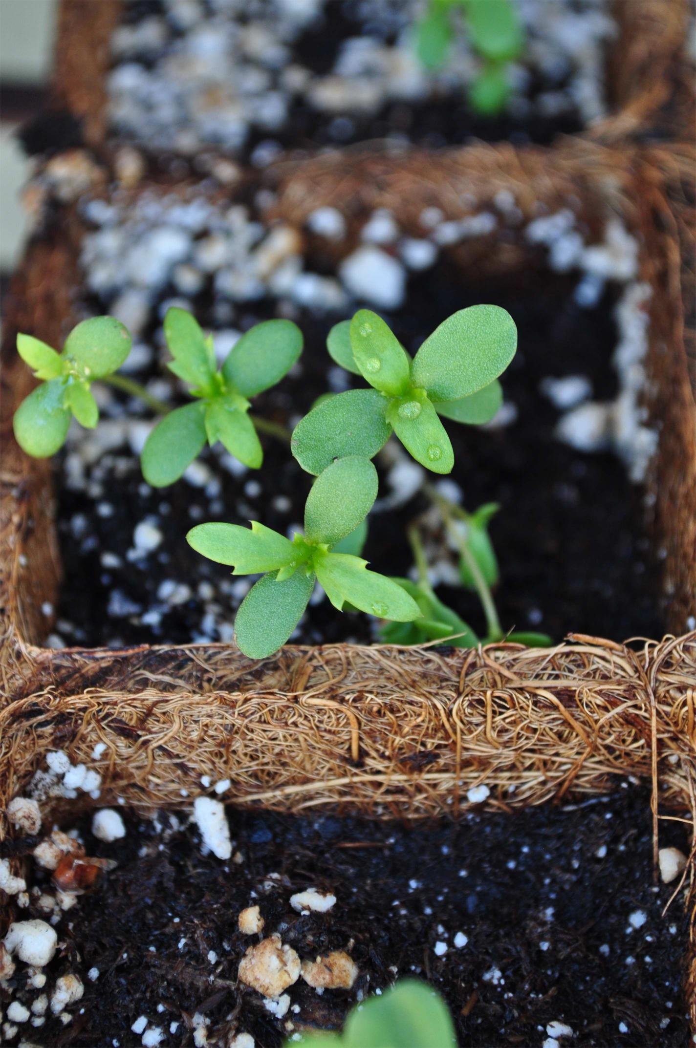 Crown-daisy-seedlings