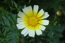 Close-up-flower-of-Crown-daisy