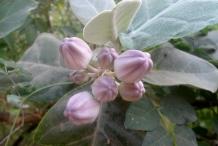Flowering-buds-of-Crown-flower-plant