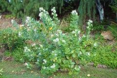 Crown-flower-plant